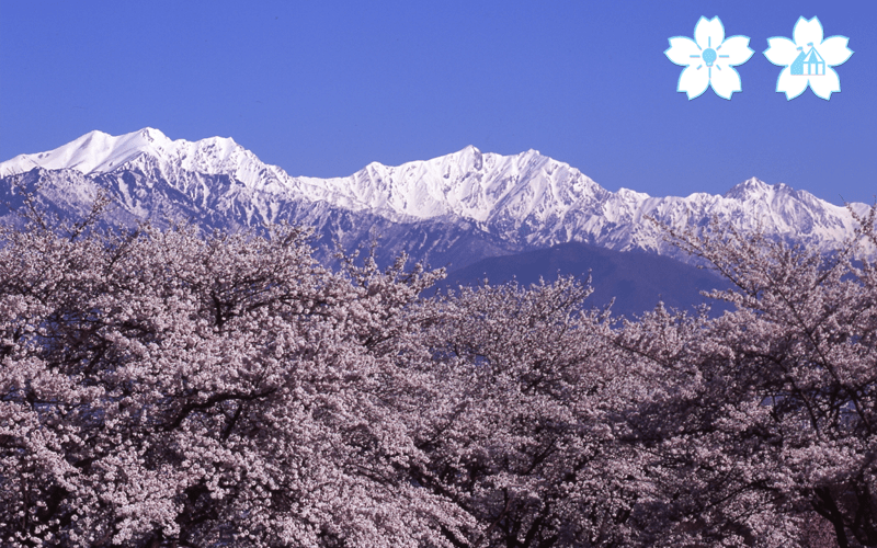 hanami11