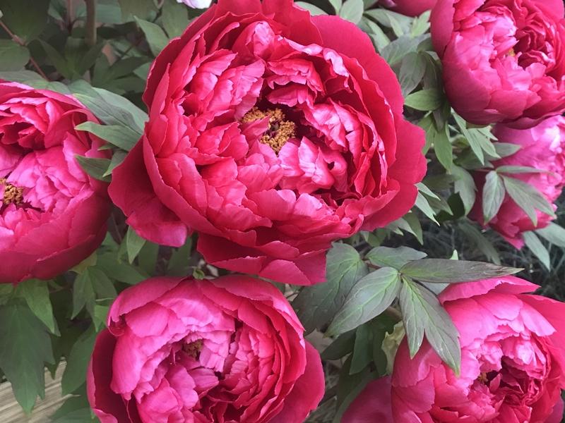 花暦 Hanagoyomi ปฏิทินดอกไม้