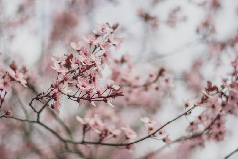 3 บทเพลงภาษาญี่ปุ่นว่าด้วยเรื่องซากุระ Sakura Songs